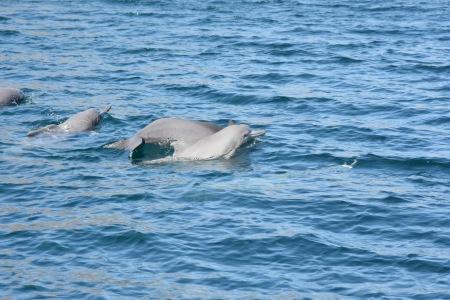 PLCS-Musandam-Dolphins1-2016