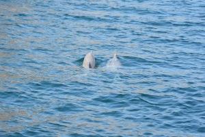PLCS-Musandam-Dolphins2-2016
